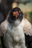 Re Vulture Fotografie Stock