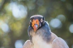 Re Vulture From la parte anteriore Immagini Stock Libere da Diritti