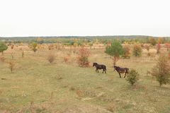 Milovice and European Wild Horse Czechia. Re-wilding program in Milovice Nature Reserve, Czech republic. Exmoor Pony among vegetation which is believed to be the royalty free stock photo