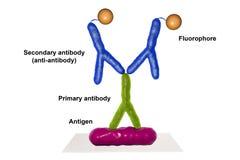 Reação immunofluorescent indireta RIF Imagens de Stock