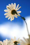 Reach high. A Daisy flower standing tal above the rest Royalty Free Stock Images