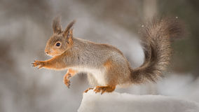 Reach. Profile of red squirrel standing on snow reaching out