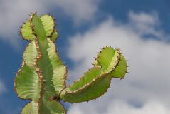 Reach for the sky. Cactus plant reaching up to the clouds Royalty Free Stock Photography