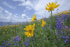 Mountain wildflowers common sunflower and blue sky