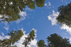 Reach for the sky. Conceptual image of trees reaching for the Cumulous clouds filled sky Royalty Free Stock Image