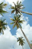Reach for the sky. Coconut tree reaching for the sky stock images