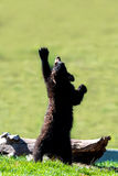 Reach for the Sky. A young bear reaches up towards the sky Stock Photography