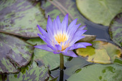 Reach. A solitary water lily flower bloom stretches toward the sky Stock Image
