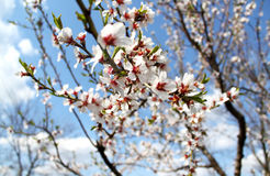 Reach to the Sky. Almonds tree flower at my grandmas garden at spring, with sky background Royalty Free Stock Photo