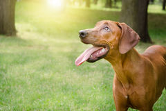 Reachback dog. Wiht sun in his eyes royalty free stock photos