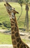 Reaching. Close up of giraffe stretching for food Stock Images