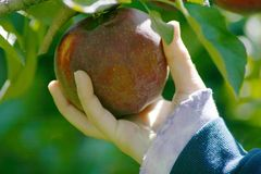 Reaching for an apple. From an apple tree Stock Photo