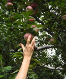 Reaching for an Apple at Harvest Time Stock Photo