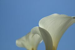 Reaching Calla Lilies. Calla lilies reaching toward a summer blue sky royalty free stock image