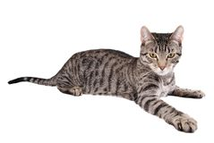 Reaching Cat. A tabby cat reaching out on white Royalty Free Stock Photography