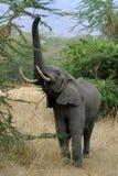 Reaching elephant. Elephant reaching for food in Serengeti National Park, Tanzania stock photography