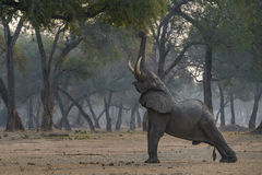 Reaching for food. Elephant bull reaching for leaves od Ana tree in mana Pools, Zimbabwe stock photography