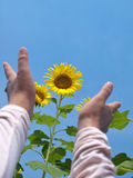 Reaching out to sunflowers Royalty Free Stock Photo