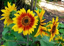 Reaching for a ray of sun, sunflowers photographed in Bloemfontein, South Africa