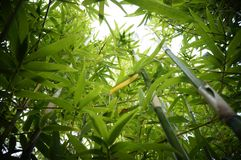 Reaching for the sky. Golden bamboo, or Phyllostachys aurea, with a interesting viewpoint stock photography