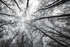 Reaching the sky. Trees growing up to the sky Royalty Free Stock Photography