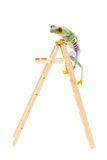 Reaching The Top. A red-eyed tree frog climbing to the top of the ladder.  Conceptual image to illustrate success, promotion, advancement.  Also pet shop or zoo Stock Images