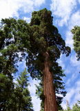 Reaching Up. Photo of California redwood in Mariposa Grove in Yosemite National Park Stock Image