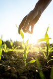 Reaching for young maize plant. Male hand reaching down to a young maize plant growing in an agricultural field backlit by a bright early morning sunlight with Stock Images