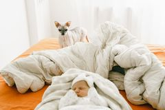 The reaction of a domestic cat to a newborn baby. The cat of the Don Sphynx looks attentively at the new member of the family. Cat is in focus royalty free stock photos