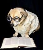 Read book. Nerd dog read blank book Royalty Free Stock Photo