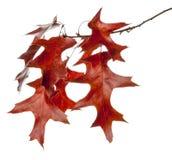 Read Oak Leaves Royalty Free Stock Photos