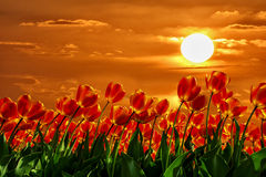 Red Tulips agains golden sunset. Red tulips growing against a beautiful orange colour sunset stock photography