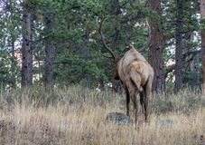Read view of Large Elk in the Rocky Mountain National Park stock image