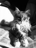 The reader. Mainecoon reclining on newspaper in black and white Royalty Free Stock Photos