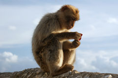 'Reading' Barbary Macaque. Barbary Macaques on a wall in the 'Apes Den', Gibraltar. Holding a platixc wrapper which makes it look like he's reading something Royalty Free Stock Images