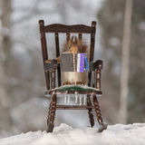 Reading a book. Close up of red squirrel standing on a chair in the snow reading a book Stock Photos