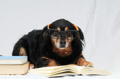 Reading Dog Royalty Free Stock Images