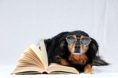 Reading Dog Stock Photos
