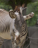 Reading Between the Lines--Zebra in National Zoo Stock Photos