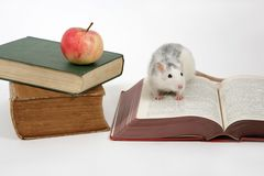 Reading rat. Rat on open book next to a stack of books with apple, isolated an white background Royalty Free Stock Photo