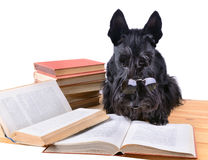 Reading terrier Royalty Free Stock Photo