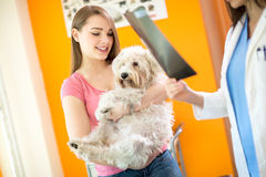 Reading X ray of sick Maltese dog in vet clinic Royalty Free Stock Photos