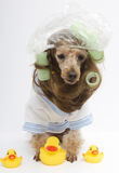Ready For A Bath with The Duckies. A poodle in a shower cap, curlers and a terry cloth bathrobe, surrounded by rubber ducks Royalty Free Stock Image
