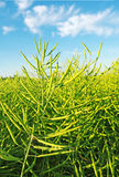 Ready canola. Royalty Free Stock Photography