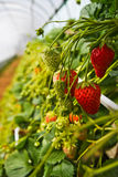 Ready for eat1. Fresh strawberry is waiting for you pick it up and eat it by yourself in farm, japan Royalty Free Stock Images