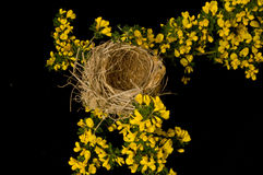 Ready empty nest. An empty nest surrounded by yellow broom flowers on a black background ready to be used again Stock Photos