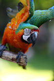 Ready For Flight. Military Macaw flapping his wings and ready to take off from his perch Royalty Free Stock Images