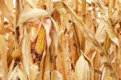 Free Ready For Harvest Royalty Free Stock Image - 60411906