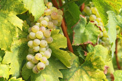 Healthy grape. Grapes ready for harvest in Croatia Royalty Free Stock Images