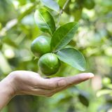 Lime on branch in organic orchard with natural green background. Ready for harvest Lime on branch in organic orchard with natural green background royalty free stock photo
